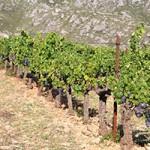 dcv-vineyard-1